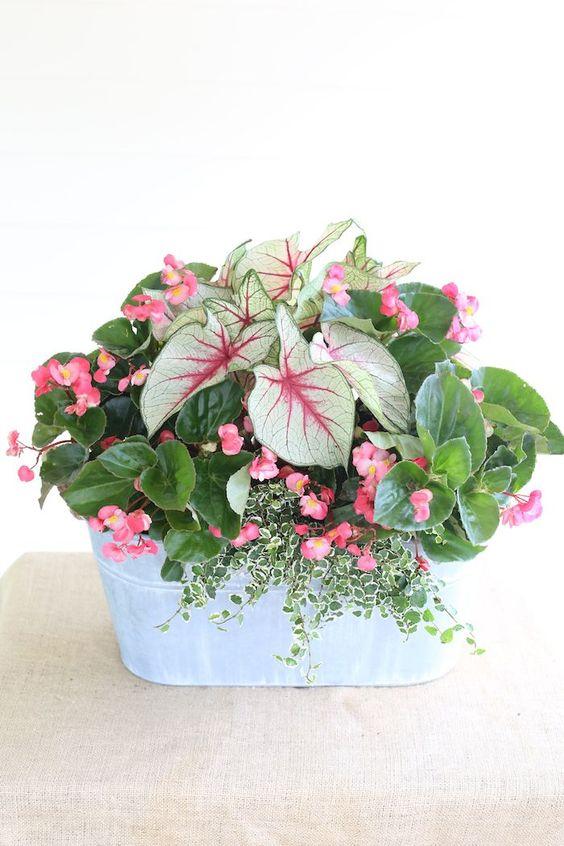 Vaso de flores com caladium