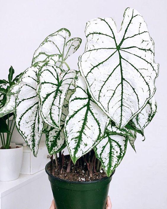 Vaso para decoração com caladium