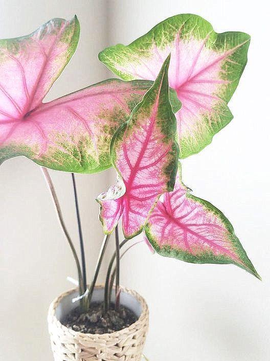 Vaso pequeno com caladium rosa e verde