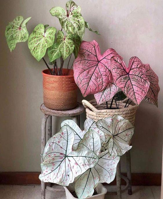 Vasos de plantas com caladium de diferentes espécies