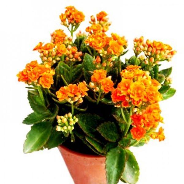Calandiva laranja para decoração de casa