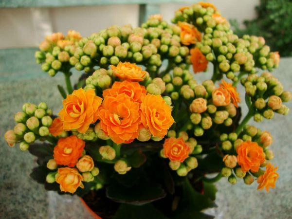 Calandiva laranja
