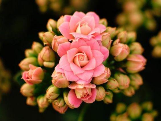 Calandiva rosa no jardim