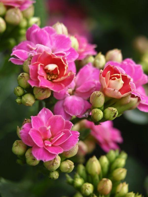 Calandiva rosa no jardim de casa