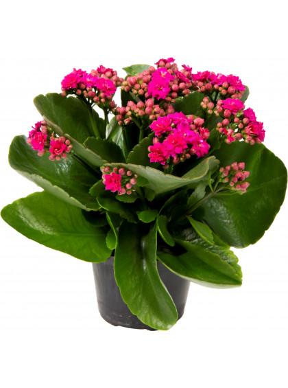 As calandivas cor de rosa são lindas para presentear amores