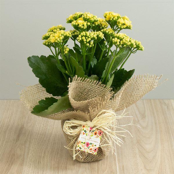 Mini calandiva amarela com vaso de juta