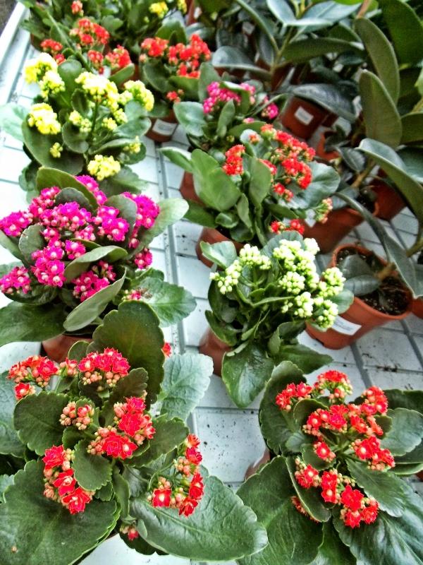 Vasos de calandivas para decorar jardim de casa moderna