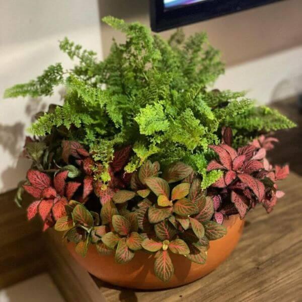 Fitônia com plantas para decorar a sala