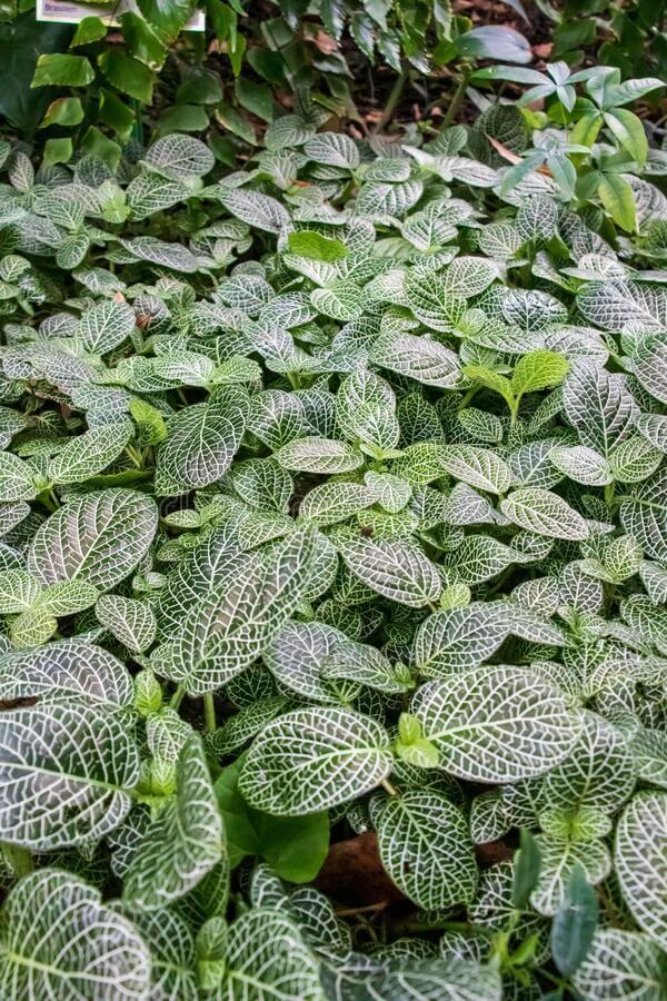 Jardim com fitônia verde e branca