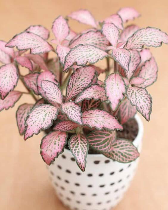 Vaso branco com fitônia rosa e verde