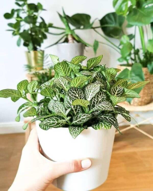 Vaso branco de fitônia na sala de estar cheia de plantas