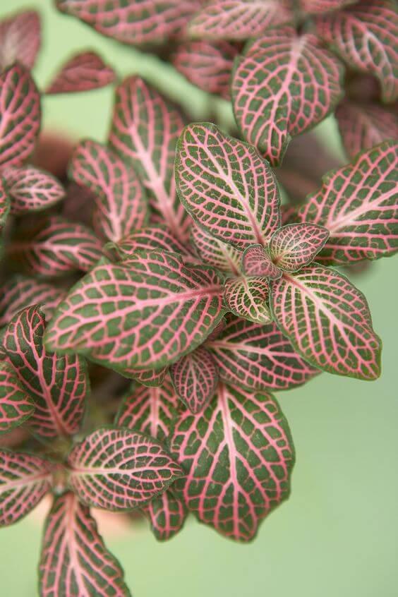 Vaso com fitônia rosa e verde