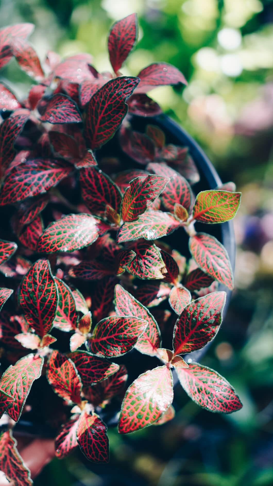 Vaso fitônia vermelha e verde