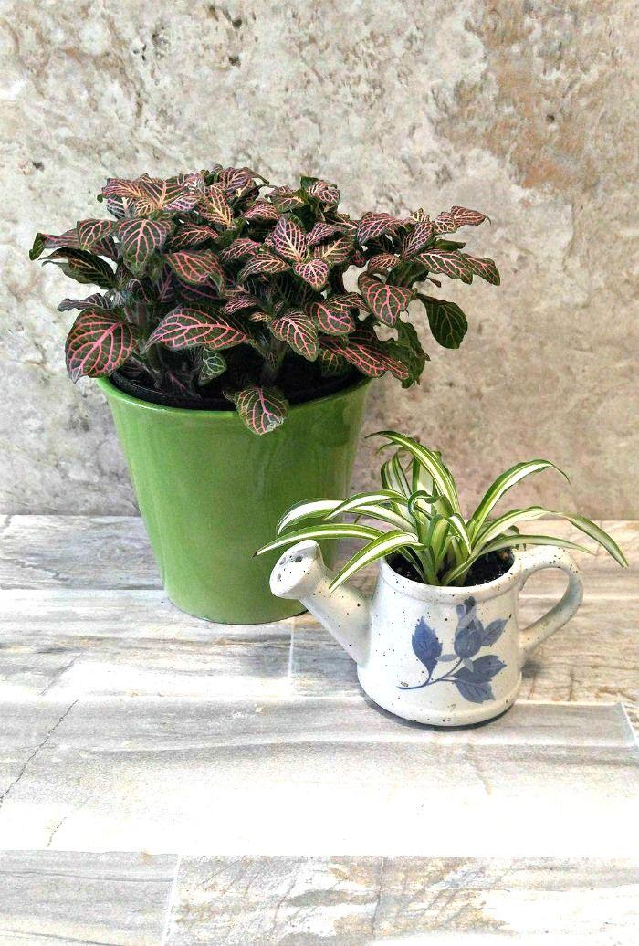 Vaso verde de fitonia