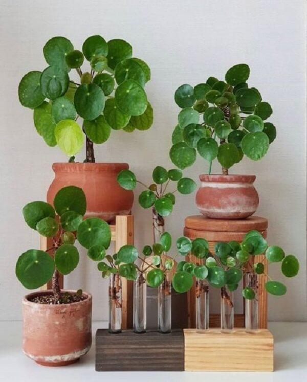 A Pilea é o maior gênero da família Urticaceae. Fonte: PILEA LOVERS