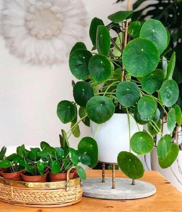 A Pilea é uma planta extremamente instagramável. Fonte: Pinterest