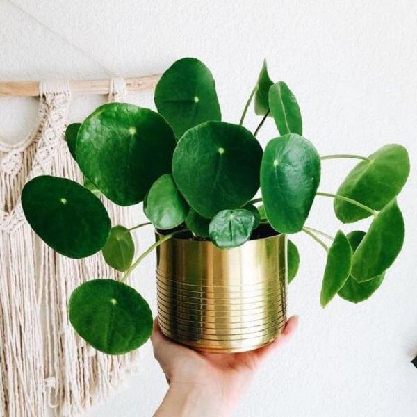 A Pilea é uma planta repleto de significados. Fonte: Gazeta do Povo