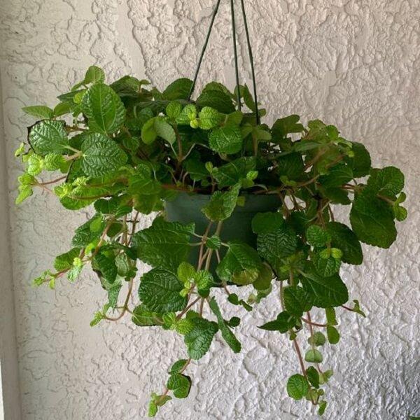 A Pilea nummulariifolia não gosta de temperaturas baixas e deve ficar à meia-sombra. Fonte: Pinterest