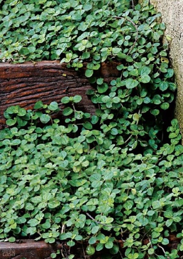 A Pilea nummulariifolia possui folhas verdes e enrugadas. Fonte: Pinterest