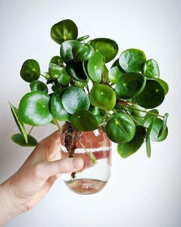 A planta Pilea também é uma boa opção para se cultivar na água. Fonte; Pinterest