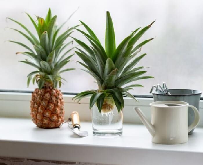 Como plantar muda de abacaxi. Foto: Gardening Know How