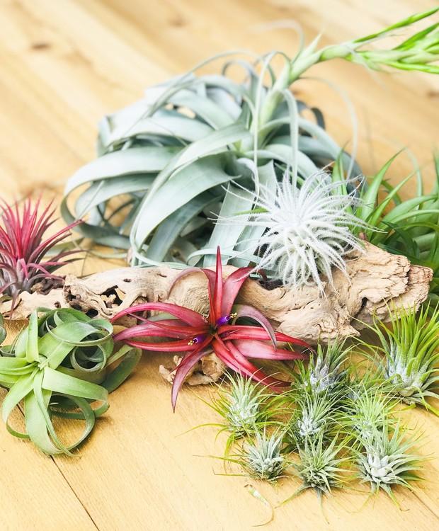 Conheça quais tipos de plantas aéreas usar na decoração rústica