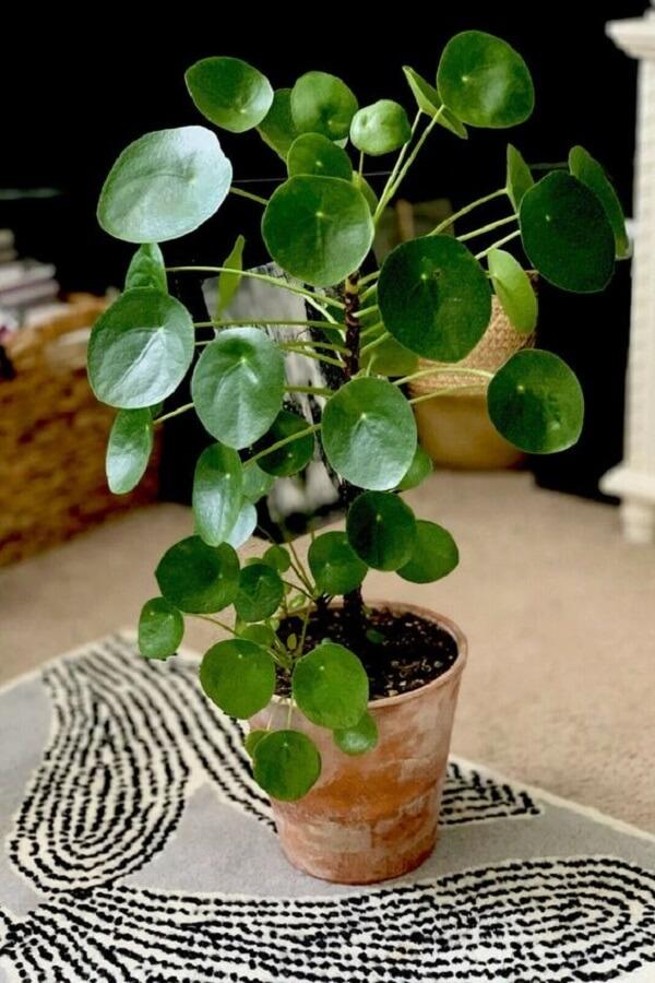 Decore seu ambiente com a planta Pilea peperomioides. Fonte: Pinterest