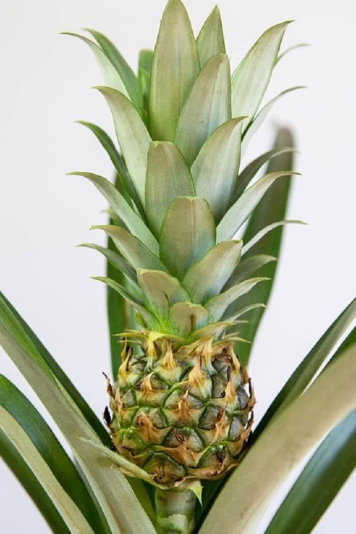 Descubra como plantar abacaxi em vaso e aprecie seu crescimento. Foto: Lively Root