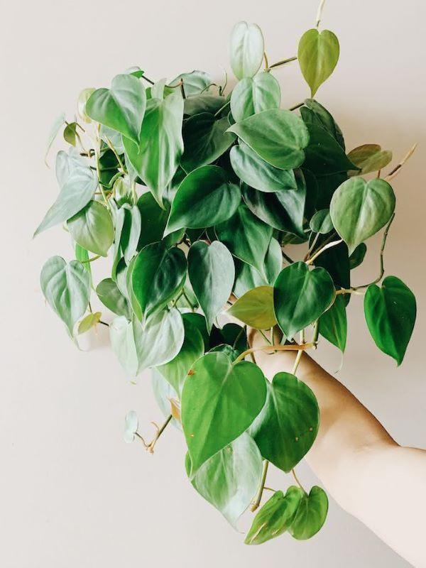 Filodendro para decoração com plantas aéreas