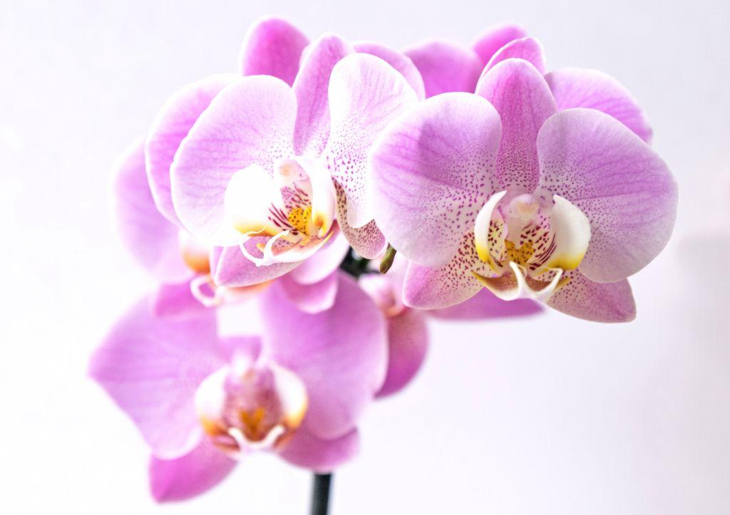 Flor orquidea pra decorar a casa com plantas aéreas