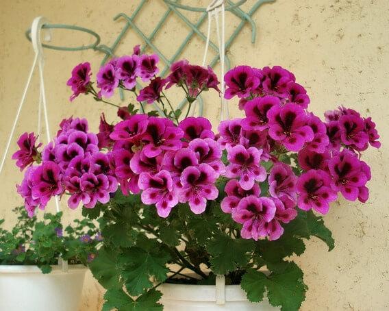 Gerânio roxo no vaso de flores do jardim