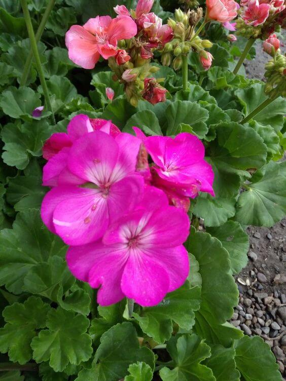 Jardim com geranio rosa