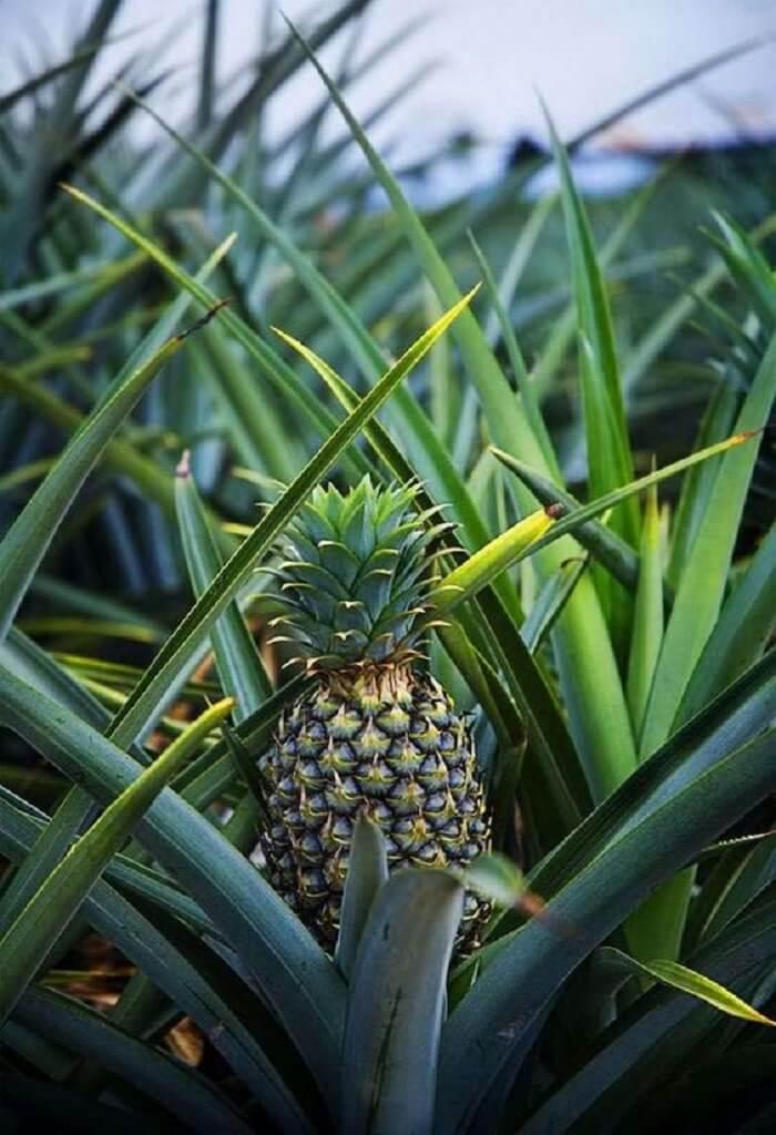 O solo para plantar abacaxi deve ter aproximadamente 30% de adubo e 70% de terra. Foto: Suburban Men