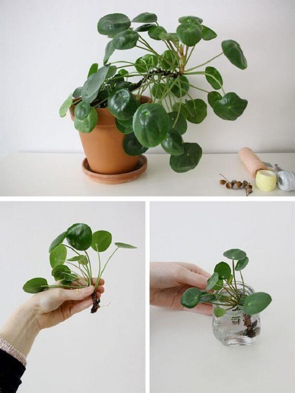 Para propagar a pilea coloque a base da raiz dos filhotes na água. Fonte: Pinterest