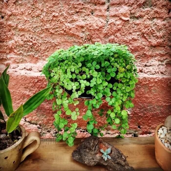 Vaso pendurado com Pilea nummulariifolia. Fonte: Mari Oliv Bonassoli