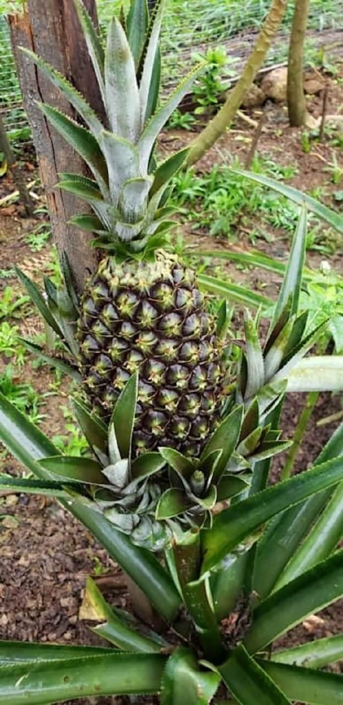 Você pode plantar abacaxi em vaso ou direto no solo. Foto: Homify BR