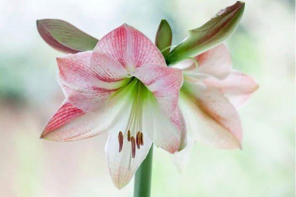 Amarilis rosa e branco