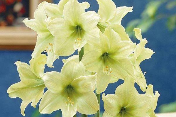 Amarílis verde claro para jardim moderno