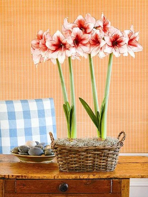 Decoração com vaso de amarílis rosa e branco