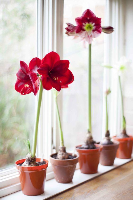 Janela com vaso de amarílis vermelha e rosa