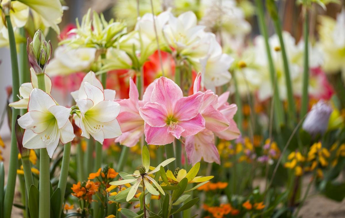 Jardim com flores do tipo amaryllis em várias cores