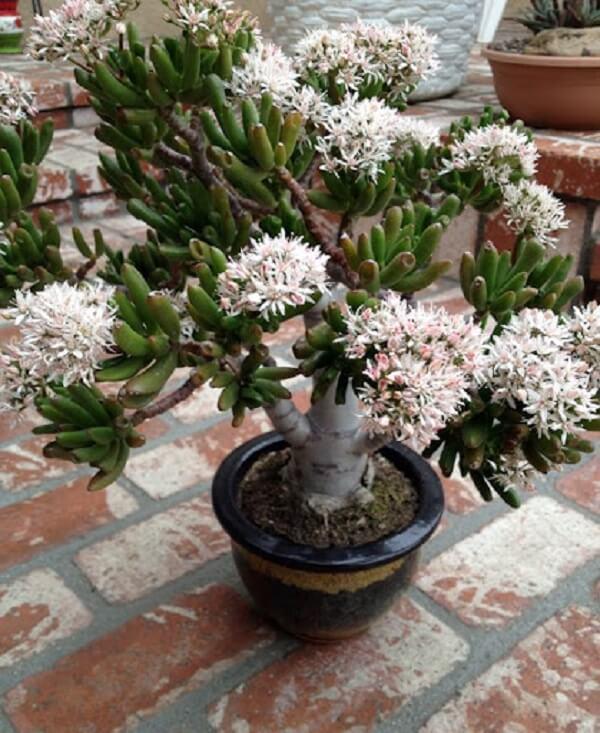 Suculenta orelha de shrek da flor. Fonte: Planta Sonya