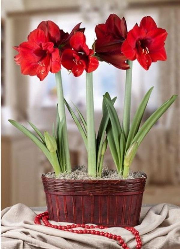 Vaso com flores de amarilis vermelhas