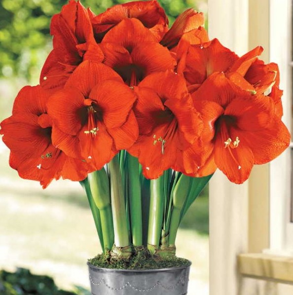 Vaso de amarilis laranja