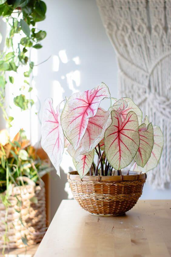Vaso de planta Caladium bicolor