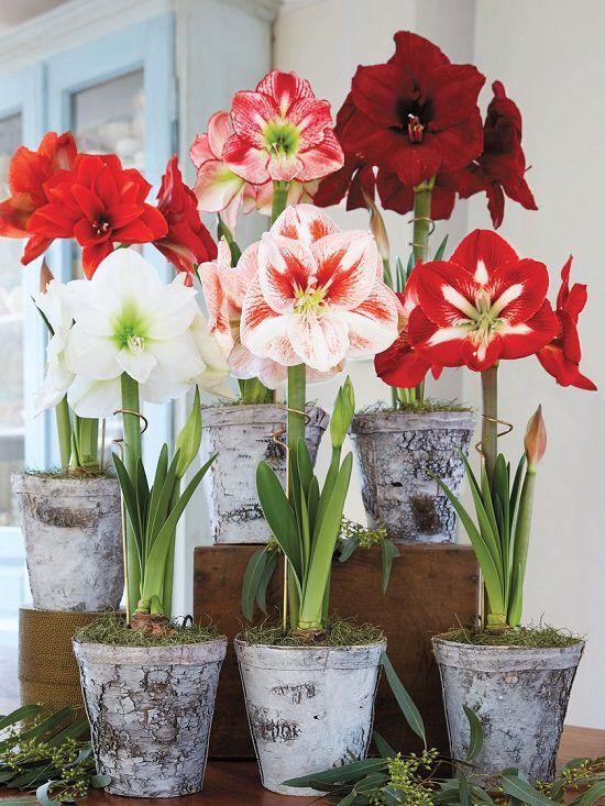 Vasos de amarilis de diferentes tons de vermelho e branco
