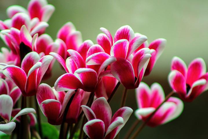 Flor cyclamen cor de rosa